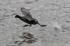 Coot running on water (kasia-aus) Tags: black bird nature water animal australia running canberra coot