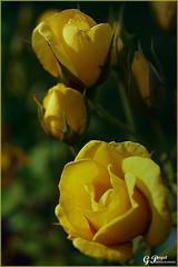 PETALES ET COULEURS (Gilles Poyet photographies) Tags: roses nature fleurs jaune soe auvergne puydedme clermontferrand autofocus aplusphoto jardinlecoq artofimages rememberthatmomentlevel1