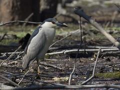 Black-crowned Night-Heron_1J8A2140 (navanbird) Tags: orleans ottawariver blackcrownednightheronnycticoraxnycticorax tomdevecseriphotography champlainstreetnorth