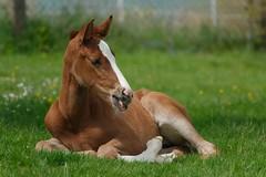 Pause (Heiko Schneemann) Tags: pferde foal fohlen lifeiscrazy
