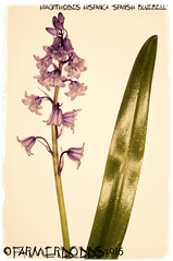 Hyacinthoides hispanica 'Spanish Bluebell' (farmer dodds) Tags: bluebell hyacinthoides introducedspecies hyacinthoideshispanica asparagaceae spanishbluebell