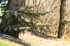 Low Branches (Vegan Butterfly) Tags: city urban plant tree nature pine branches needles