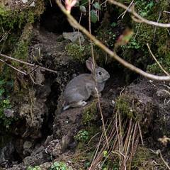 Wabbit at its front door (warth man) Tags: rabbit wildlife youngrabbit nikon70300mmvr d7000