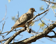 Mourning Dove (Karen_Chappell) Tags: travel blue sky brown tree bird nature dove branches ottawa shirleysbay