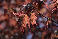 Acer Leaves (hippyczich) Tags: tree nature leaves spring bokeh depthoffield acer