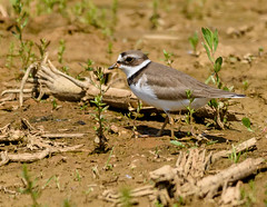 semipalmated plover (snooker2009) Tags: bird fall nature spring pennsylvania wildlife migration plover semipalmated