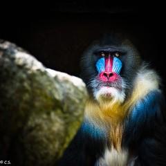 Mandrill (HeinzLustig) Tags: city blue berlin nature yellow germany dark photography monkey photo nikon natur gelb grn blau bunt berliner mandrill affe d600 nikond600