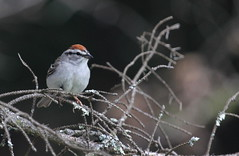 Chipping Sparrow (jd.willson) Tags: nature birds bay wildlife birding maine sparrow jd penobscot chipping willson islesboro