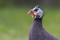 Guinea Fowl 2016-05-08 (_MG_4645) (ajhaysom) Tags: england devon guineafowl canoneos6d sigma120400 newmoorpark