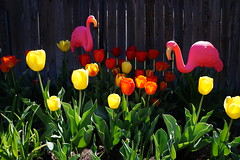 birds and blooms   lol (jeffsmith5651) Tags: flowers birds fence backyard colorado funny tulips plastic littleton jeffsmith