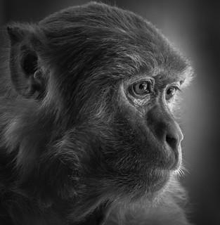 portrait de singe