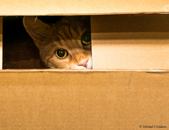 Alfie hiding in Box (1 of 1) (michaelcroudson) Tags: cats animals