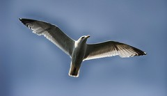 Flying seagul (mnika4) Tags: blue sky white black animal flying wings flight feathers seagul