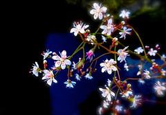 Saxifraga (Pufalump) Tags: pink red white plant flower macro green nature water rock garden pond sony multicoloured petal saxifraga hirsuta