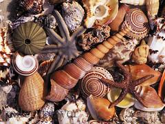 CB057656 (dklaproth) Tags: usa animals photography florida starfish colorphotography nobody seashell northamerica variety sanibel abundance corals leecounty invertebrates deepsouth southernunitedstates cnidarians anthozoans zoantharians