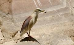 Indian Pond Heron (www.thetravelinfo.net) Tags: ranthambhore