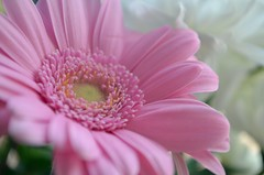 (garlick.rachel) Tags: pink flowers flower macro floral petals pretty dof petal gerbera bloom