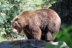 Grizzly Bear (psychostretch) Tags: bear animal mammal zoo woodlandparkzoo brownbear ursusarctos grizzlybear
