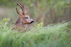 Dans les hautes herbes. (danquier55) Tags: chevreuil domaine des oiseaux mazres