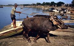Mandalay 1987 - Timber dragging (sharko333) Tags: tavel reise voyage asia asien asie myanmar burma birma mandalay people man ox work outdoor woodharvest rare analog 1987