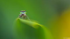 Le festin (Naska Photographie) Tags: macro nature photo photographie natur mc paysage extrieur insectes libellule proxy repas sauvage photographe macrophotographie proxyphoto naska