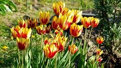 Tulips in flower (Kaarela, Helsinki, 20160522) (RainoL) Tags: flowers plants plant flower finland geotagged spring helsinki may clr multicoloured tulip helsingfors fin tulipa 2016 uusimaa nyland kaarela hakuninmaa krble fz200 201605 hkansker 20160522 geo:lat=6025167420 geo:lon=2487281083