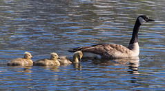 20160521sixD-9296 (Dugt1) Tags: 2016 6d glenshire pond goose gosslings chics