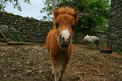 tudur the foal (arawnthompson) Tags: horse nature animal animals closeup young fluffy curious foal energetic