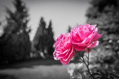 Spot on Rose (wigerl) Tags: light red rot nature austria licht sterreich europa europe fuji foto natur krnten carinthia f2 12mm tiffen feldkirchen samyang fujixt1