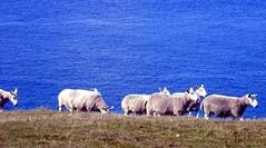 Sheep at Stoer Point, Scotland (novarex1) Tags: uk point scotland sheep stoer