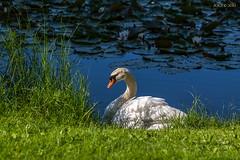 Leipzig, Brettschneider-Park, Schwan (joergpeterjunk) Tags: outdoor wiese leipzig teich schwan seerosen canoneos50d brettschneiderpark canonef100mmf28lmacroisusm