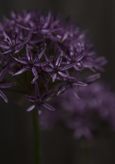 Allium - May 2016 (GOR44Photographic@Gmail.com) Tags: flower macro canon ball petals purple head 100mm allium 100mmf28 canon100mm 60d gor44
