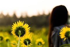 Sunshine | Vengudi,Kanchipuram (vjisin) Tags: she life travel light sky sun sunlight india plant abstract flower nature girl field 50mm dawn nikon dof bokeh outdoor dreams sunflower chennai depth tamilnadu kanchipuram nikond3200 travelphotography indiangirl niftyfifty nikonofficial vengudi