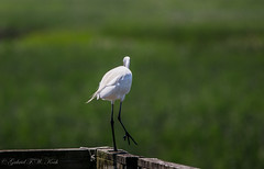 Mind the Gap (Gabriel FW Koch) Tags: wild brown sun sunlight white green bird feet nature canon neck eos boards dof natural legs bokeh wildlife grain feathers sigma telephoto stepping marsh railing egret snowyegret
