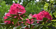Rhododendron (henkmulder887) Tags: flowers fleurs blumen rhododendron bloemen drenthe bloem rhodo havelte