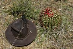 3 Neoporteria subgibbosa castanea (Umadeave) Tags: chile cactus montagne plante flora chili desert flore castanea eriosyce subgibbosa neoporteria