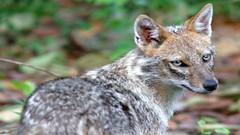 Jackal (asithmohan29) Tags: animals jackal scavengers predators coyotes canis omnivores blackbackedjackal goldenjackal sidestripedjackal monogamous saharanafrica americanjackal animalsj
