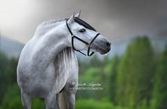 The Stallion (Hestefotograf.com) Tags: summer horse white norway caballo cheval cavalo pferd stallion whitehorse equine equus paard purarazaespanola hestefotograf