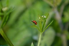 The nature in Westzaan. (PhotoTJH) Tags: green nature grass groen dragonfly spiderweb natuur sbb ladybug gras tamron libelle ladybeetle weiland spinnenweb lieveheersbeestje wilflife staatsbosbeheer westzaan guisveld hetguisveld westzaannoord 16300mm phototjh phototjhnl