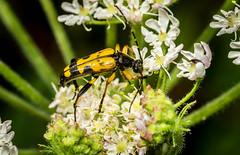Spotted Longhorn Beetle (hemlockwood1) Tags: olympus yellow wales bug beetle carmarthenshire dof