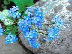 Jack Frost Plant (LANE5530) Tags: flowers plants spring jackfrost plantsandflowers