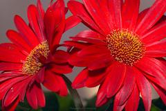 zerbera (@Katerina Log) Tags: zerbera color katerinalog florafauna flower sonya77 macro tamron 90mmf28macrossm bokeh depthoffield plant nature pollen red bright outdoor