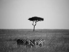 The Mara (^Joe) Tags: mammal big bush buffalo 5 wildlife lion safari mara zebra masai