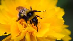 Mdchenauge_97944 (tombomba2) Tags: flowers plants colors animals yellow tiere blossom pflanzen insects blumen gelb bloom schwarz insekten farben blten coreopsis blhen mdchenauge