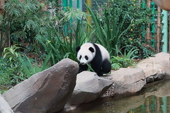 10-month-old (almost) Nuan Nuan  2016-06-16 (kuromimi64) Tags: bear zoo panda malaysia nationalzoo kualalumpur giantpanda   zoonegara     fengyi   liangliang nuannuan selangordarulehsan  zoonegaramalaysia