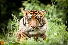 Tiger (Victor van Dijk (Thanks for 3.8M views!)) Tags: favorite cat zoo eyes blijdorp furry feline dof bokeh tiger pussy fluffy fave glaze stalker stare fav tijger stalking dierentuin faved diergaarde kuddly