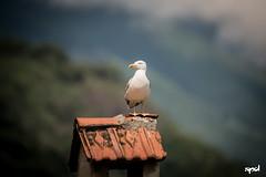 20160604 - Lago Maggiore (LOW) 17 (DAVIDE SPAGNA SPD) Tags: lake bird lago nikon seagull natura d750 maggiore davide gabbiano spagna tamaron 150600mm