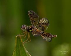 Dragonflies -26 (jimlustgarten) Tags: dragonflies lustgarten