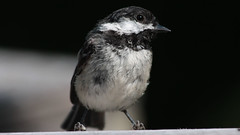 Curious Bird (blazer8696) Tags: 2016 brookfield ct connecticut ecw obtusehill t2016 usa unitedstates atricapillus black capped chickadee img8800 paridae passeriformes poecile poecileatricapillus