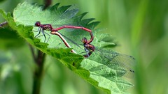 Large red damselflies. (postman.pete) Tags: nikonnycoceanoldparisparkpartypeoplephotophotographyphotosportraitrawredriverrocksansanfranciscoscotlandseaseattleshowskysnowspainspringsquaresquareformatstreetsumme damselfly damsel fly wicked weasel pussy willow leaf love wing male female lumix animal insekt libelle schilf wasser dragonfly nature jungfer mnnchen natur outdoor depth field grass plant macro insect